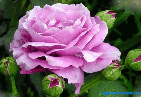 Роза сиреневых сортов Шарль де Голль