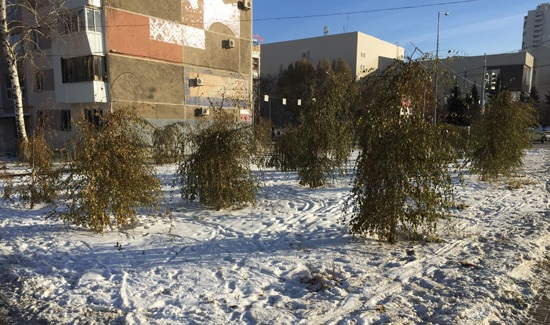 Зелёные березы в декабрьской Самаре-2