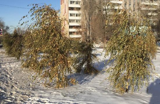 Зелёные березы в декабрьской Самаре