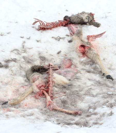 Волки разоравали косулю, заповедник Самарская Лука