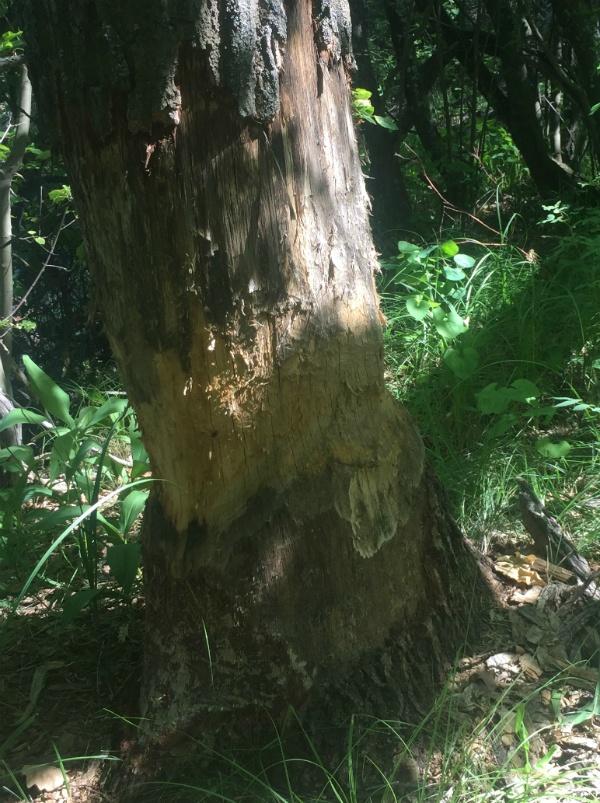 Дерево после бобра