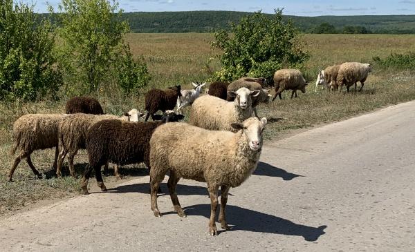 Самарская Лука, овцы